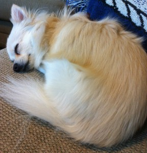 Small blonde dog taking nap